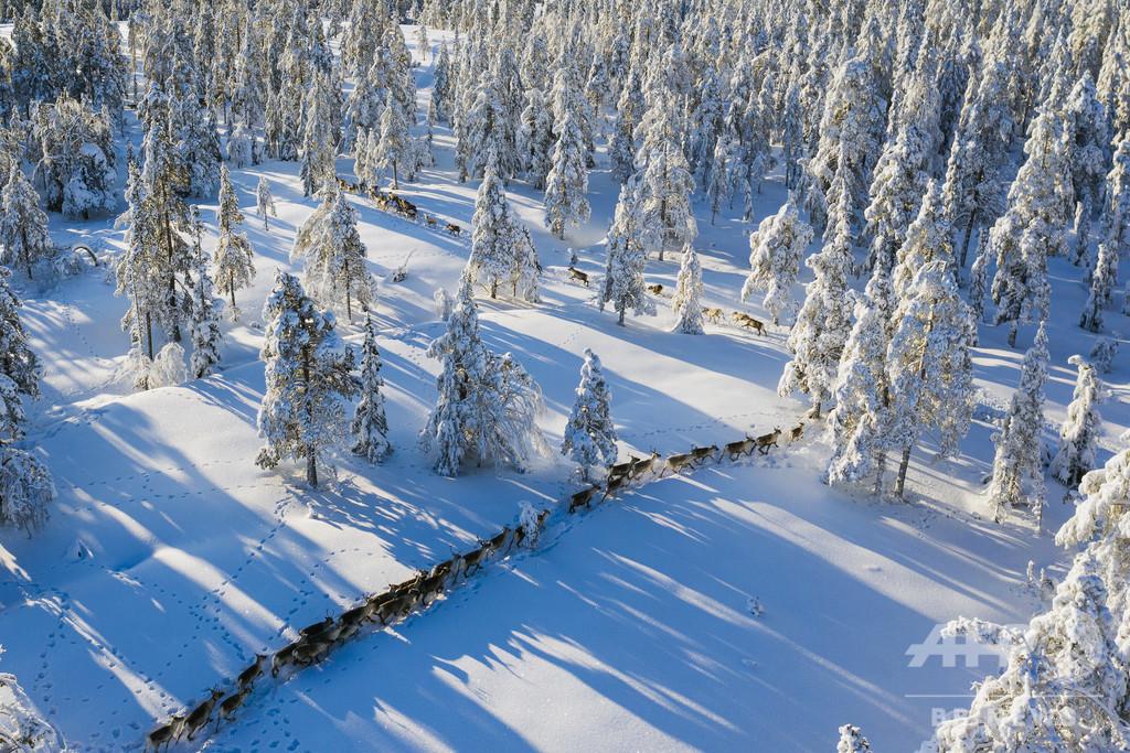 トナカイの放牧に立ちはだかる気候変動 スウェーデン