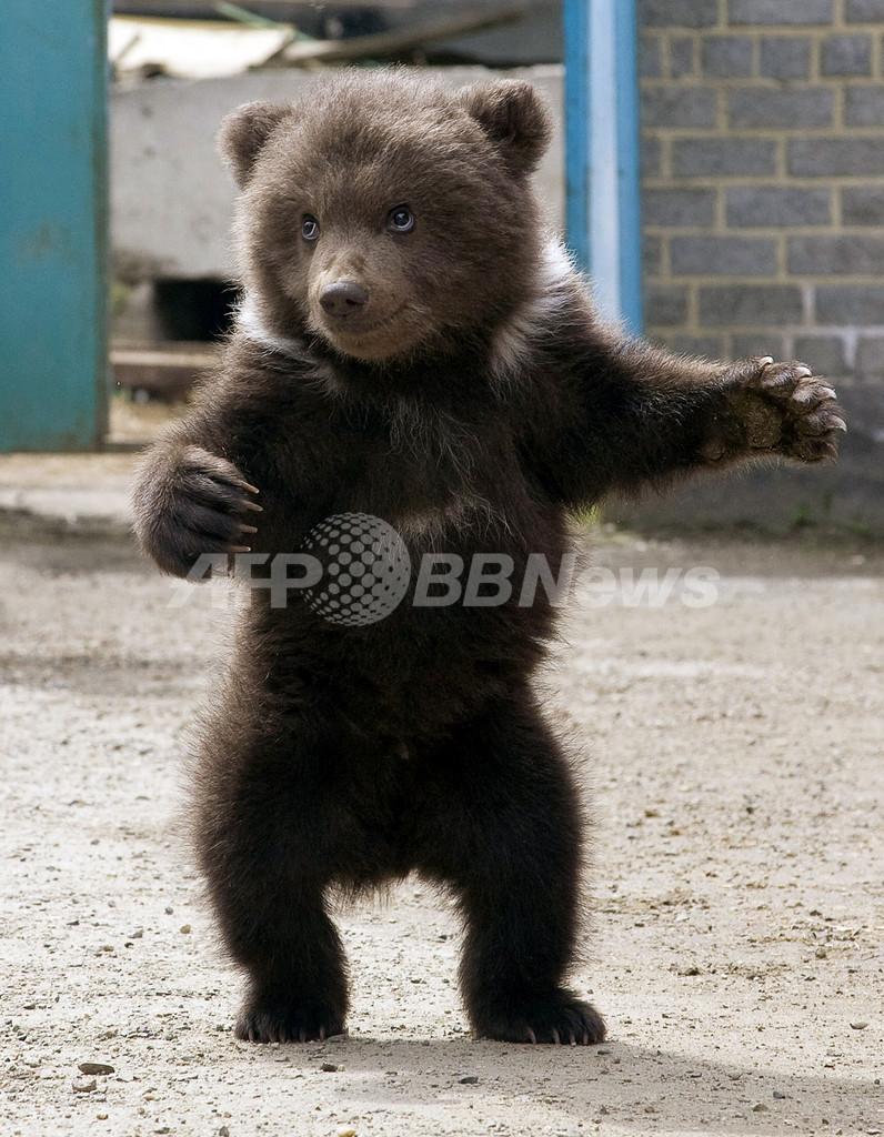 「ひとりであんよ」上手でしょ?ロシアのクマの赤ちゃん