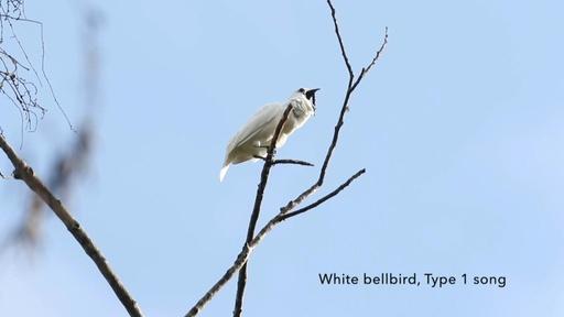 動画:アマゾン生息の鳥、世界一大きな鳴き声を記録 求愛行動で