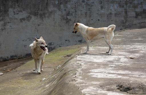孤独なオオカミ、犬と同居で寂しさ和らぐ 武漢の動物園