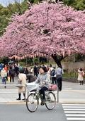 桜の起源に「韓国は無