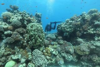世界のサンゴ白化、1980年から5倍増 研究