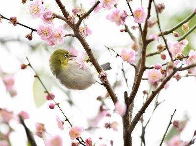 春の訪れを告げるメジロ 福建省福州市