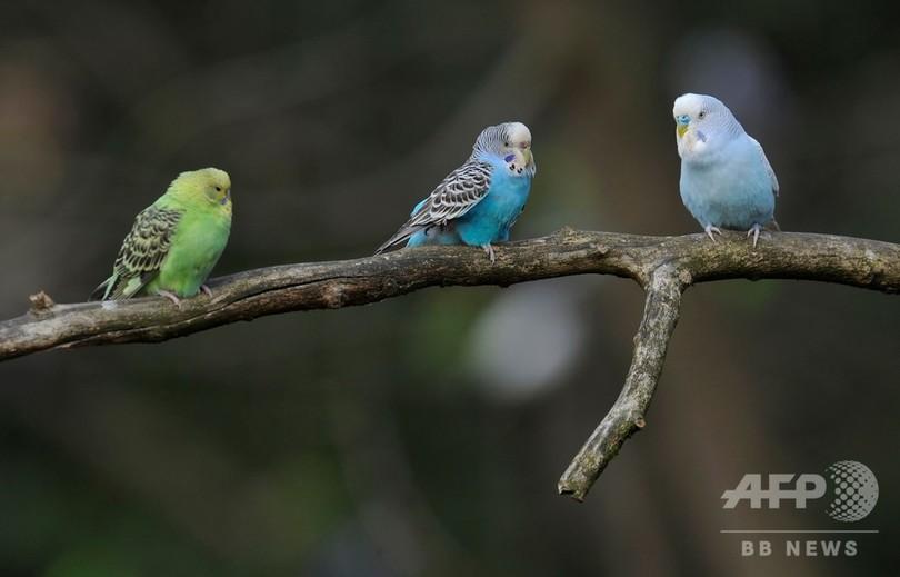 鳥の雌、パートナー選びの基準は「頭の良さ」か 研究