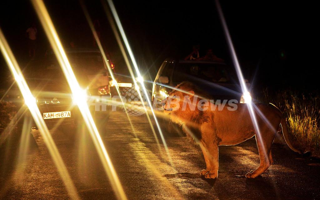 出張サービス?路上にライオンで渋滞発生、ケニア・ナイロビ