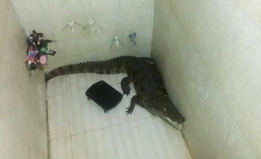 民家に忍び込んだワニ、浴室で見つかる インド