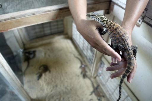 絶滅危惧のコモドオオトカゲ、人工ふ化に成功 インドネシア
