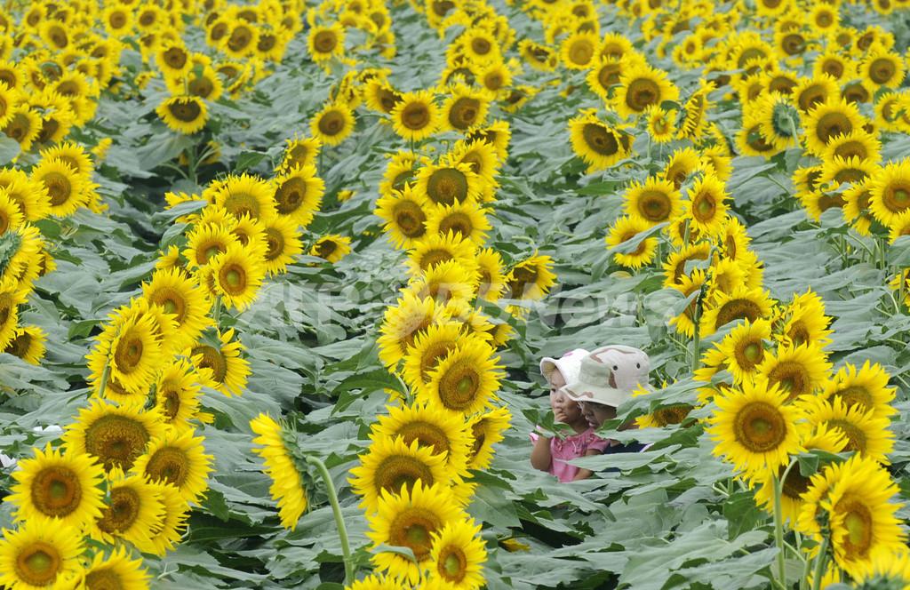 ヒマワリを福島に、土壌の浄化目指し種送る活動