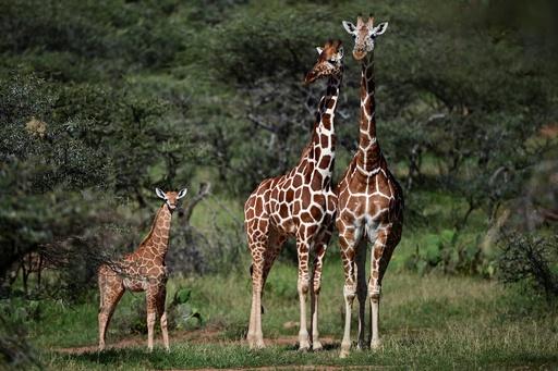 キリンに忍び寄る「静かな絶滅」の脅威