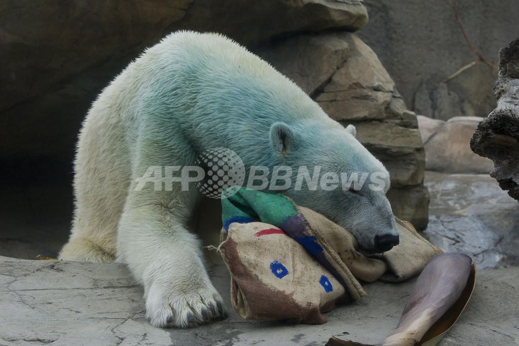 ちょっと「ブルー」なホッキョクグマ、米動物園の保護活動イベントの一環で