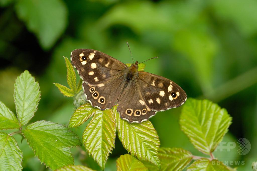 英国在来種チョウ、温暖化で絶滅危機に 研究