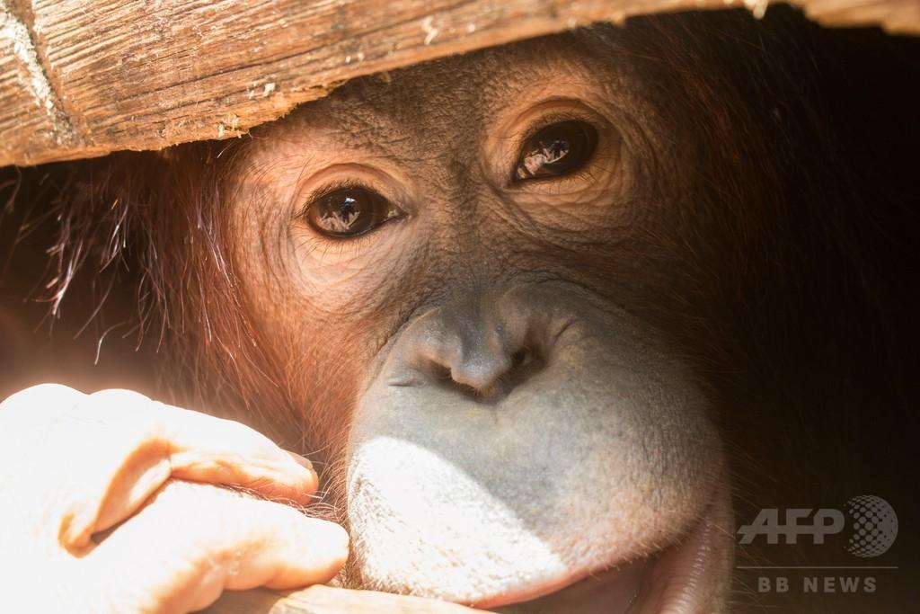 ペットとして飼育のオランウータン救出 インドネシア