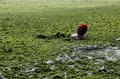 中国近海で藻が大発生、過去最大規模