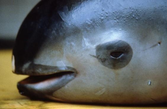 絶滅危惧種の最小イルカ、メキシコ沖で6頭確認 「希望は失われていない」