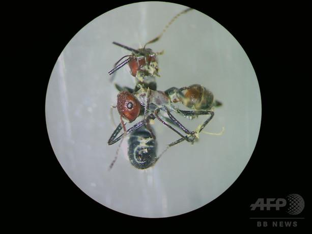 敵を道連れにする「自爆アリ」の複数種 ボルネオ島で発見 研究