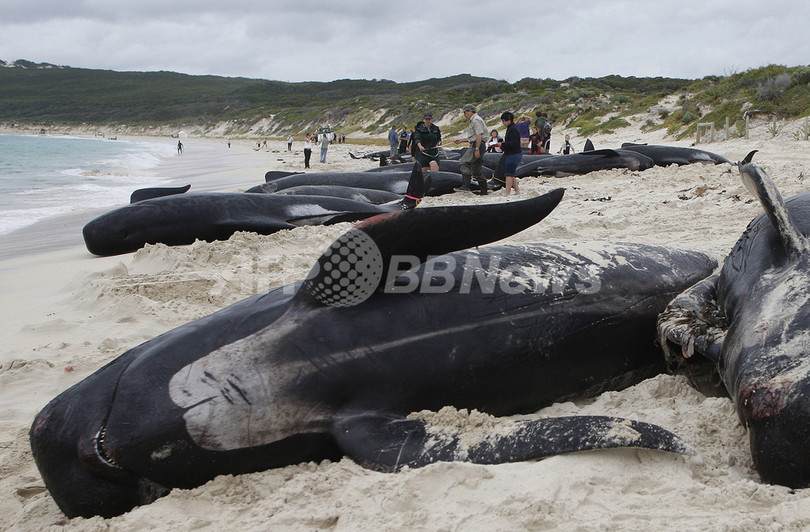 オーストラリアでクジラが大量座礁、21頭が死亡