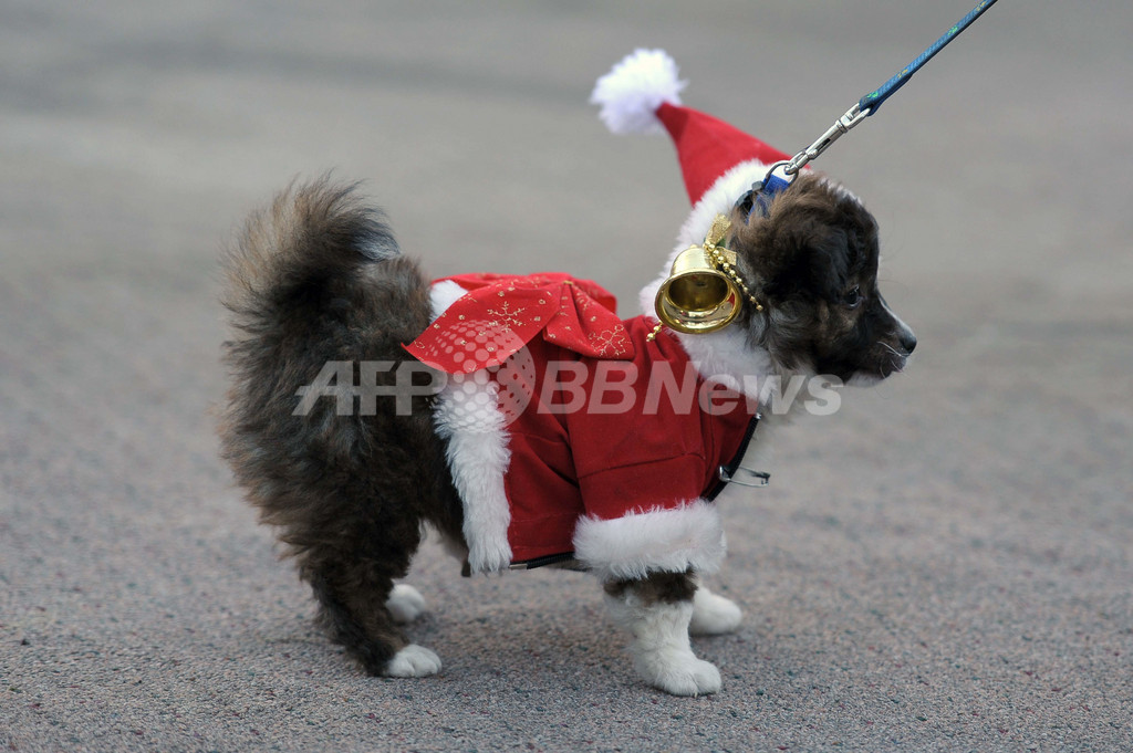 犬用クリスマス衣装の展示会、エルサルバドル