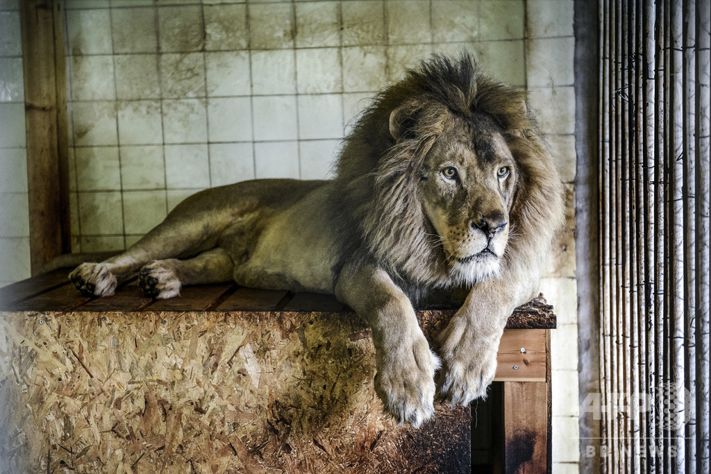 豪動物園でライオン2頭に襲われ飼育員重傷 新型コロナで休園中