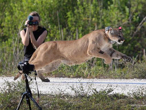 野生のフロリダパンサーやボブキャットに謎の神経障害、歩行困難に 米