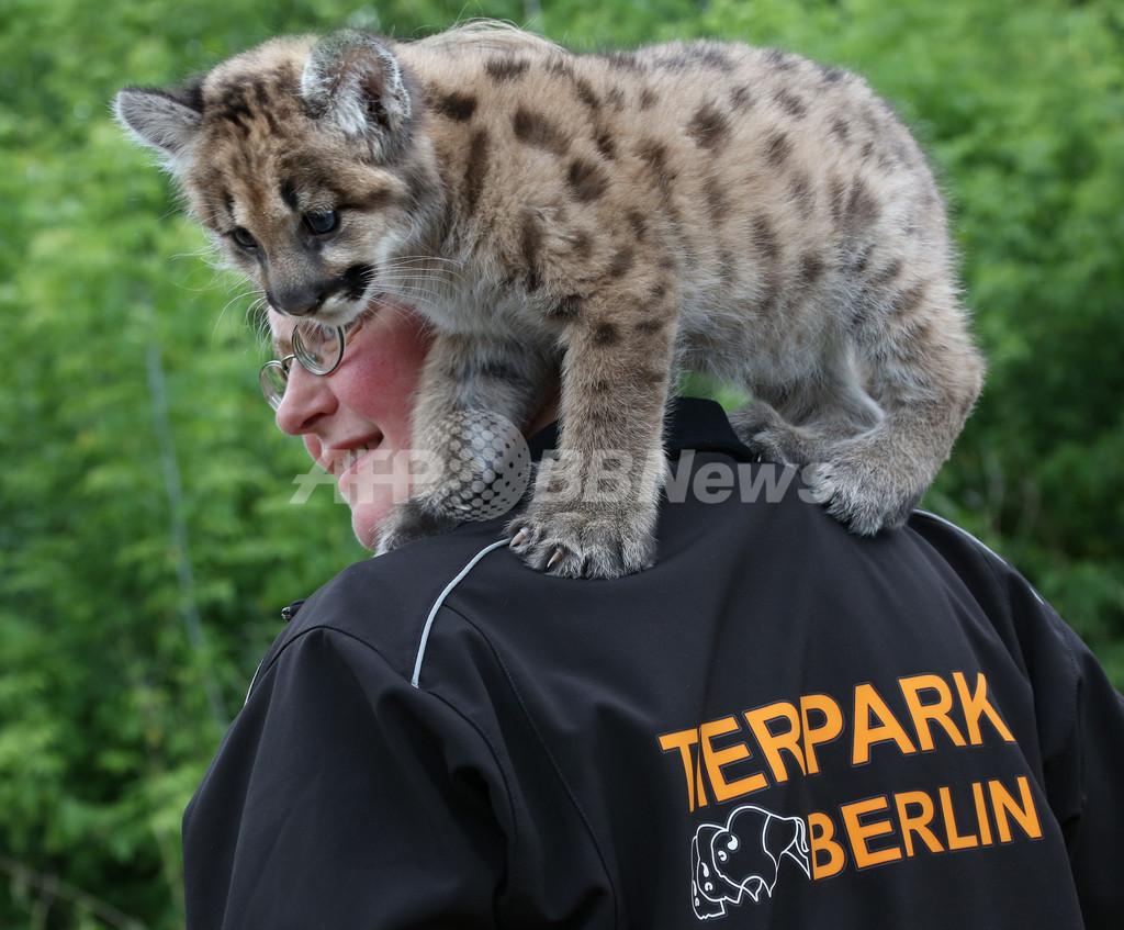 肩の上がお気に入り?赤ちゃんピューマお披露目、独動物園