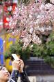 東京で桜開花、平年より6日早く