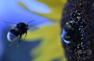 ハチを引き寄せる花の「青色ハロー」効果、研究