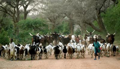 ニジェールの村、家路につく家畜たち