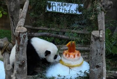 パンダの赤ちゃんが1歳に、氷のケーキでお祝い マレーシア