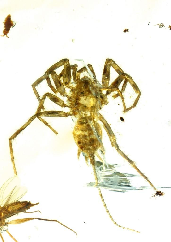 尾を持つ「クモ」、1億年以上前の琥珀の中から発見 研究 写真3枚 国際 ...