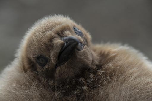 フォークランド諸島のオウサマペンギン、観光産業成長の「カギ」