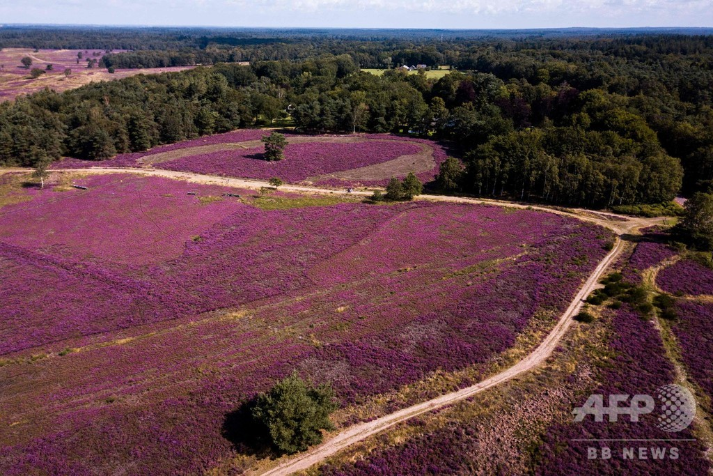 ヒース野原が花盛り、一面ピンクに オランダ