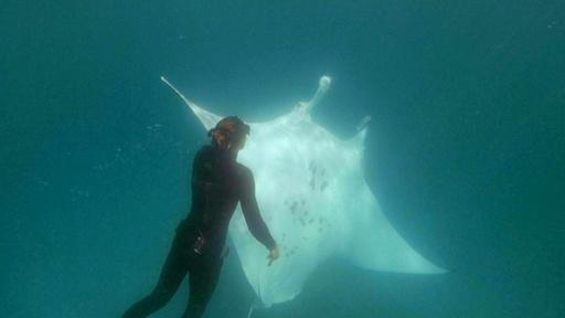 動画:巨大マンタがダイバーに「助けて」、釣り針を抜いてもらう 豪西海岸