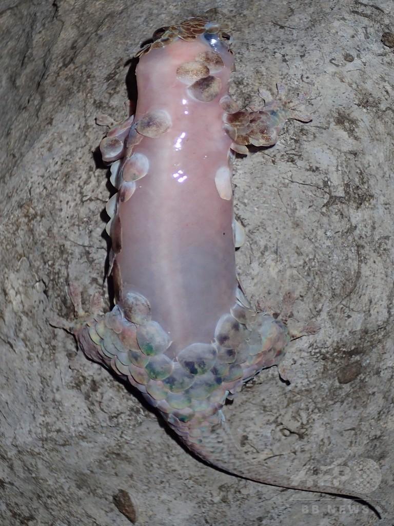 「ストリップ」する新種ヤモリ、うろこ脱ぎ捨て捕食者から逃走