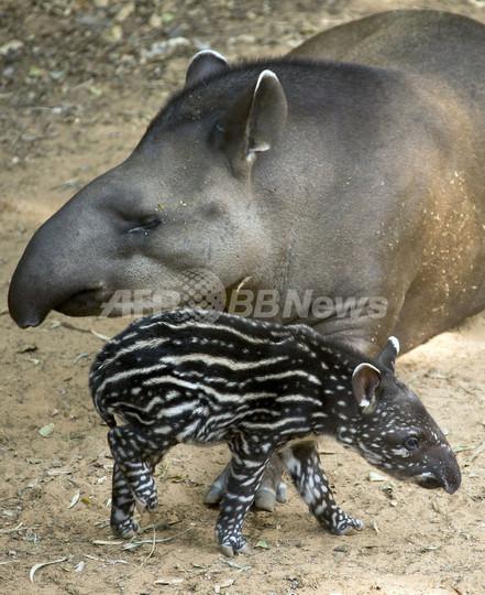 いつもお母さんと一緒、ブラジルバクの赤ちゃん