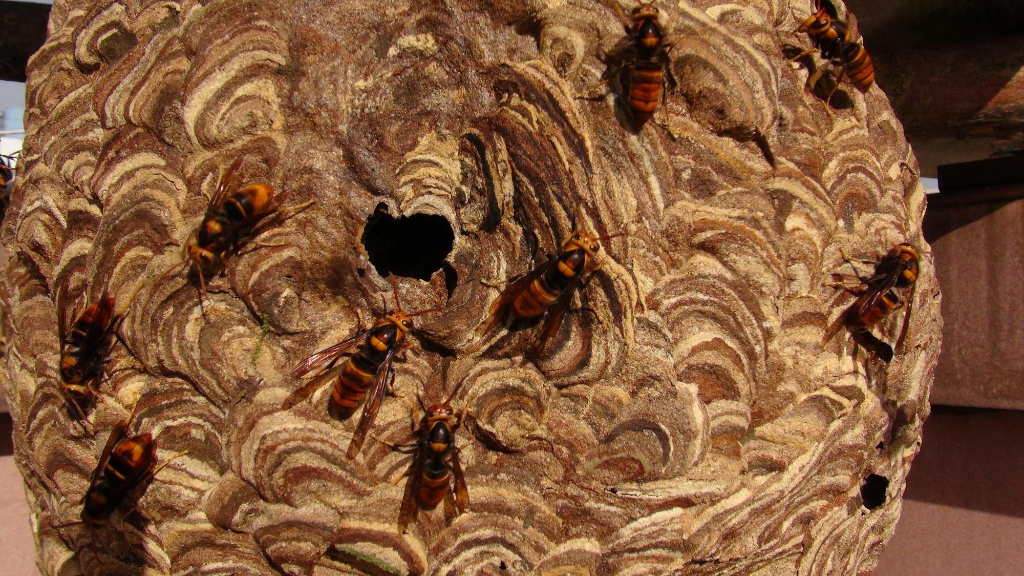 スズメバチ、30日前に嗅いだにおいを記憶 中国の研究
