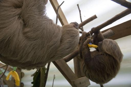 ナマケモノの保護施設、南米コロンビア