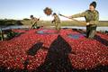 真っ赤に色づいたクランベリー、ベラルーシで収穫始まる