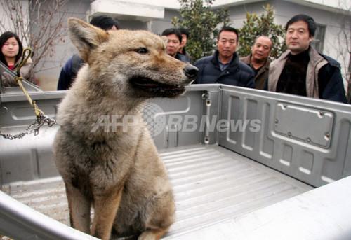ペットの愛犬、実はオオカミだった!?