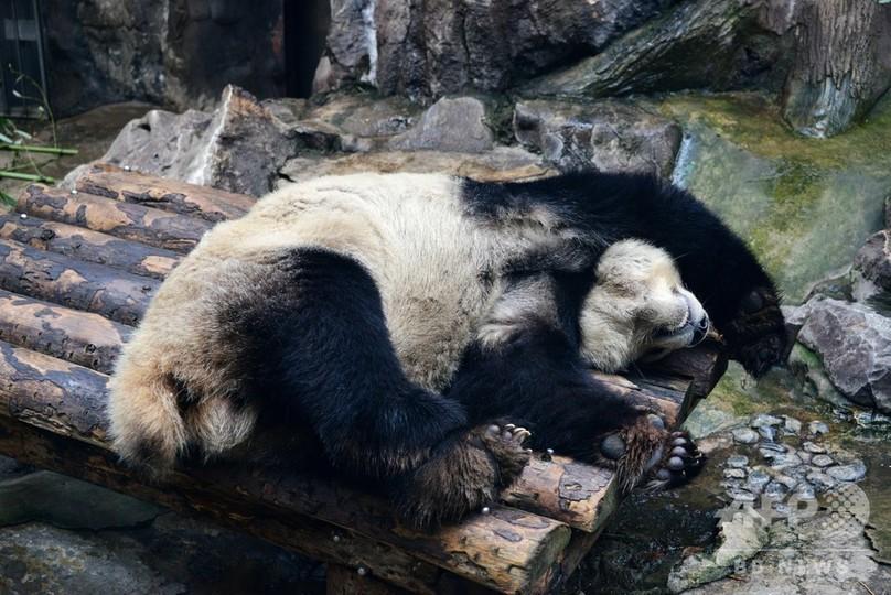 あられもない寝姿 寒い日も暖かい部屋でパンダのんびり