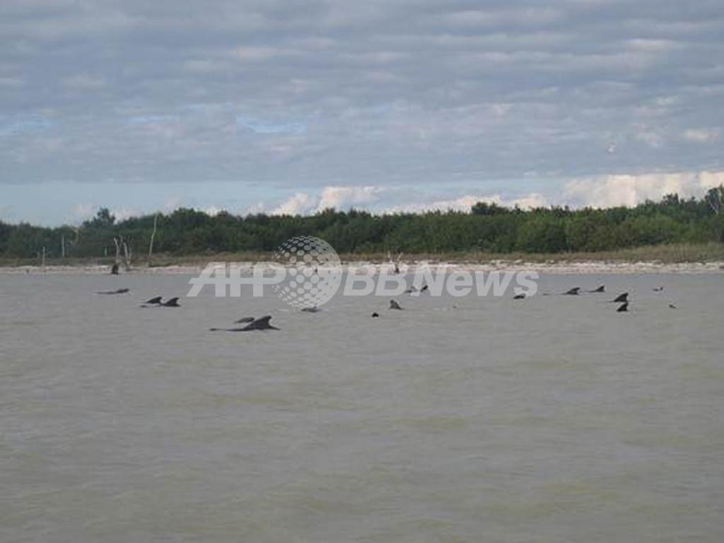 ゴンドウクジラ数十頭が座礁、一部は安楽死 米フロリダ州