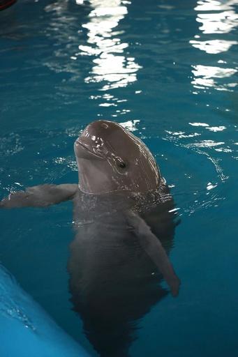 長江のスナメリ14頭、水族館に移送へ 是非をめぐり論争