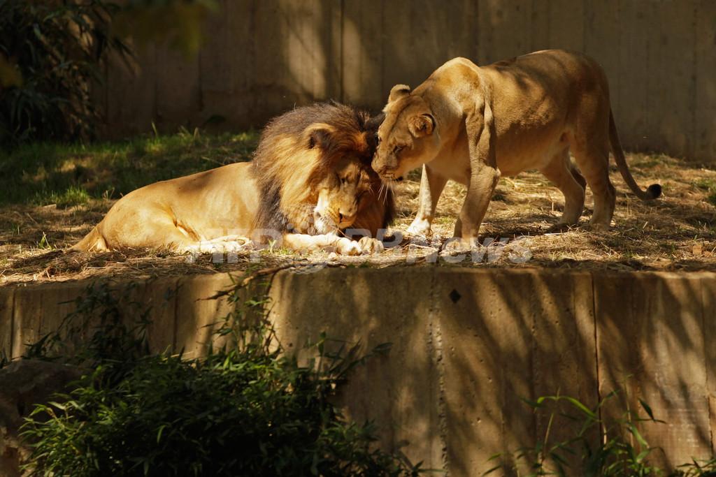 雄ライオンにかまれ雌ライオン絶命、米動物園