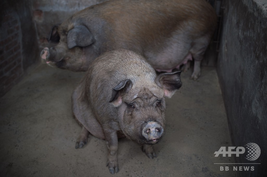 中国で初、アフリカ豚コレラが発生 336頭を殺処分