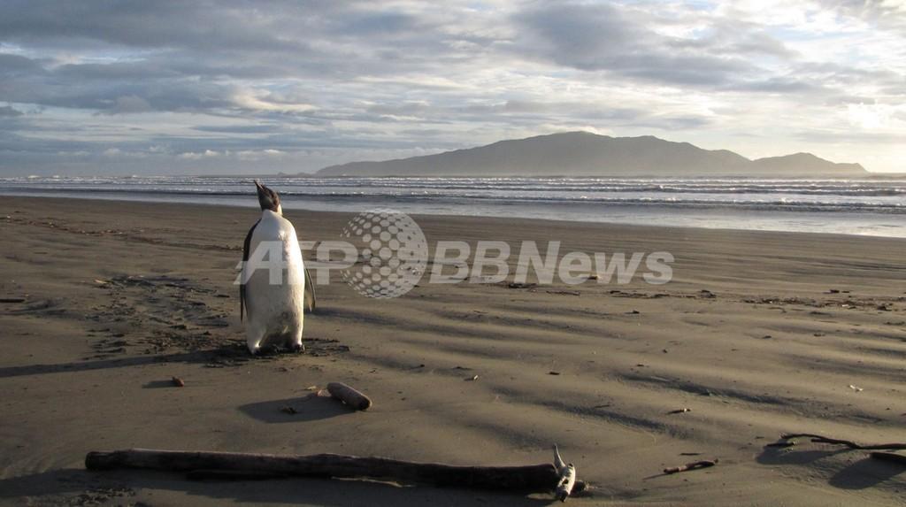 迷子のコウテイペンギン体調急変、暑くて砂食べた?NZ