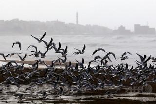 海鳥の一部、嗅覚を頼りに飛行進路を決定か 実験