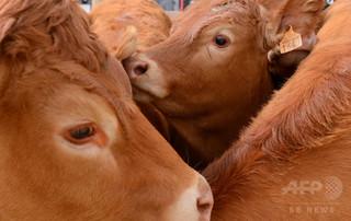 食肉用の雌牛が逃亡、助命の呼び掛けに660万円集まる オランダ