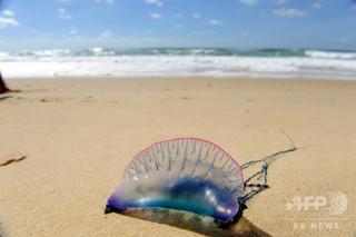 豪東海岸に毒クラゲが「襲来」、ここ数日で「桁外れ」の被害件数