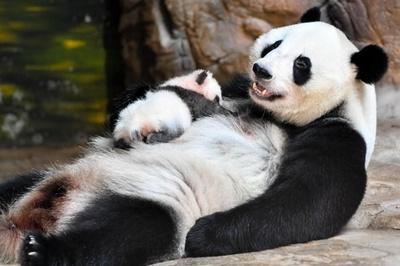 広州のジャイアントパンダ「隆隆」ママに 赤ちゃん初公開