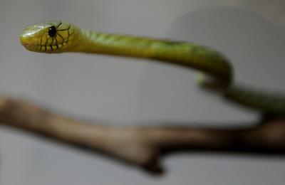 飼い主かんで逃げた毒ヘビ「グリーンマンバ」無事捕獲 チェコ