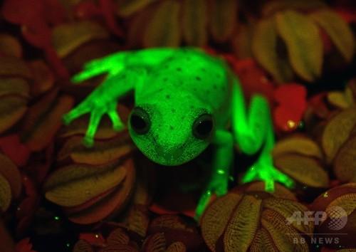 世界初、蛍光を発するカエルを発見 アルゼンチン